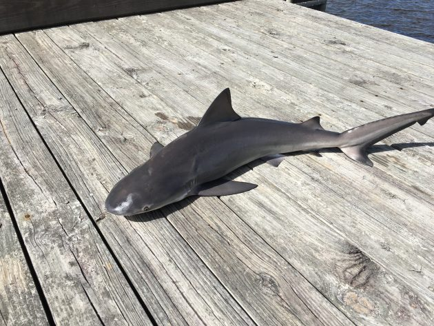 Bull Shark caught near Everbank Field, (home of the Jags!)